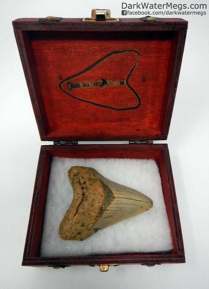 "3.68"" orange megalodon tooth in treasure chest"