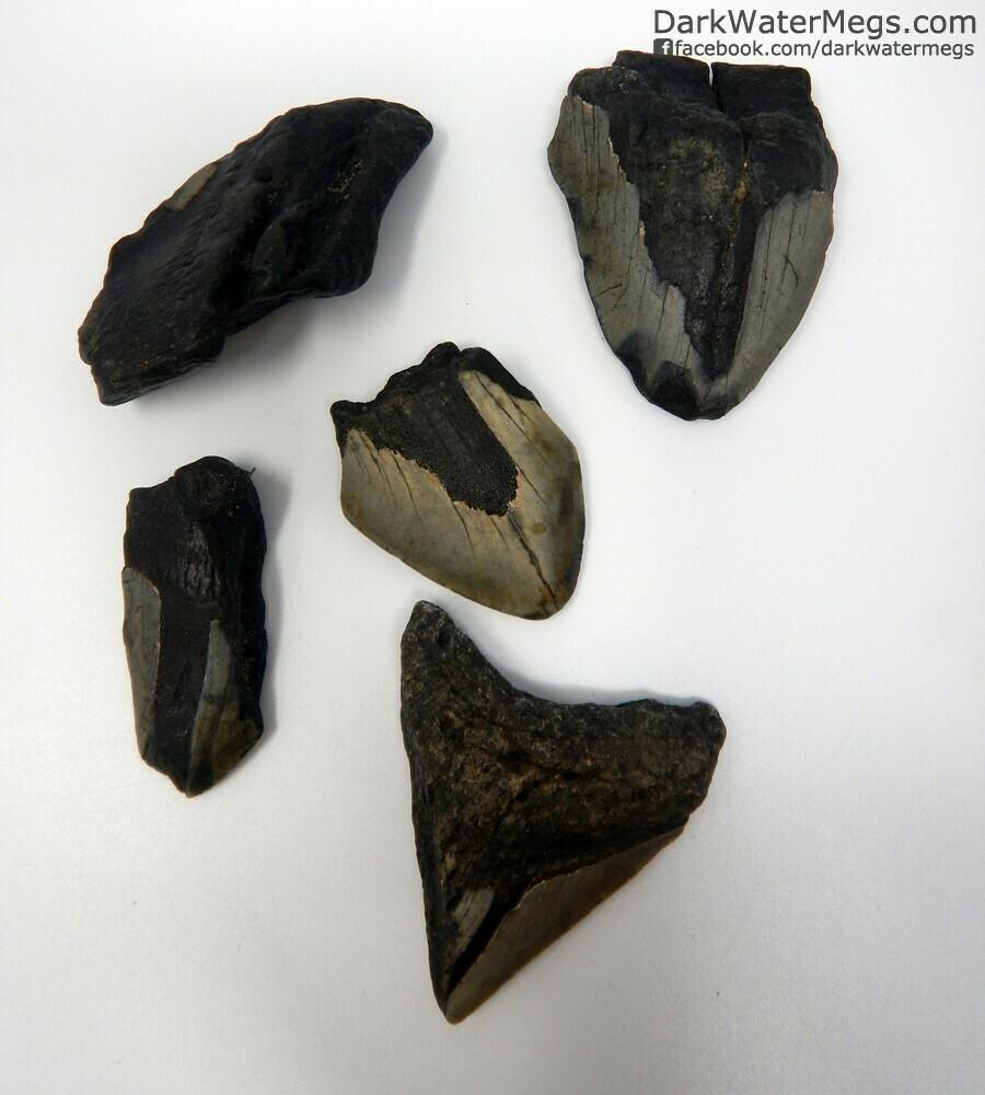 Megalodon Frag Pack - Small