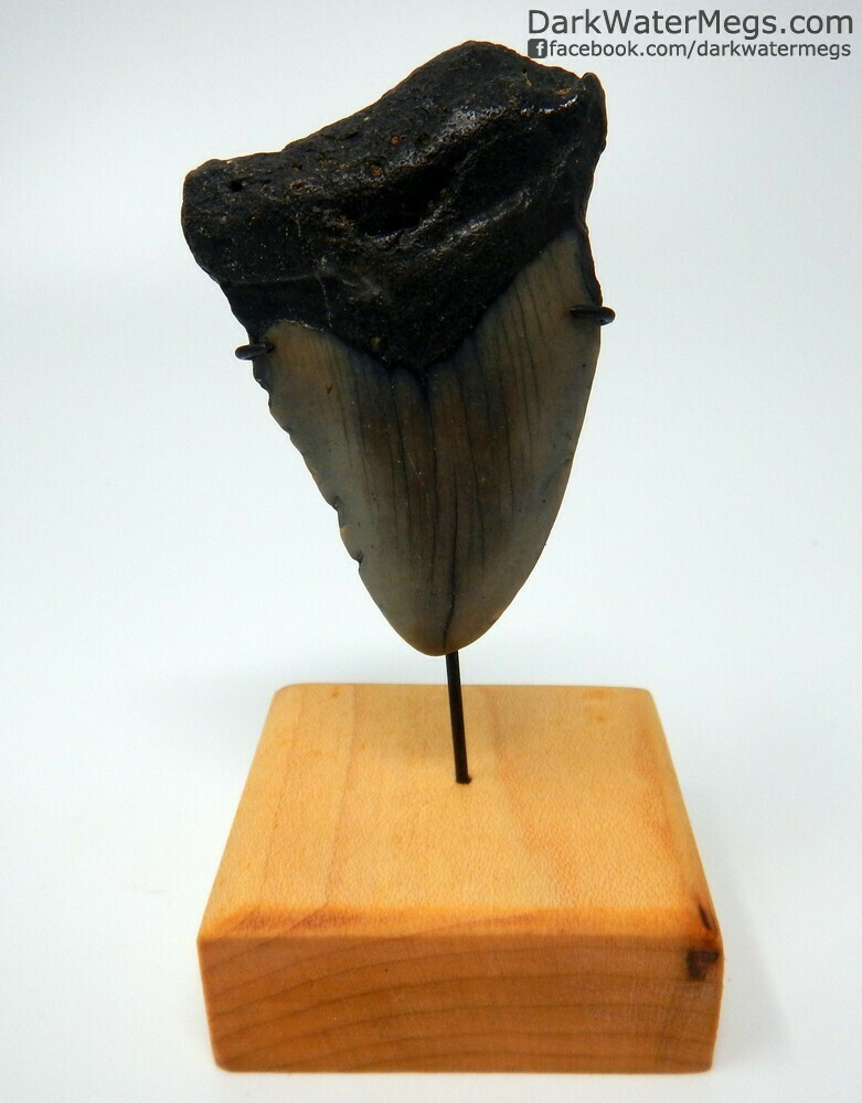 """2.67"""" dark megalodon tooth on stand"""