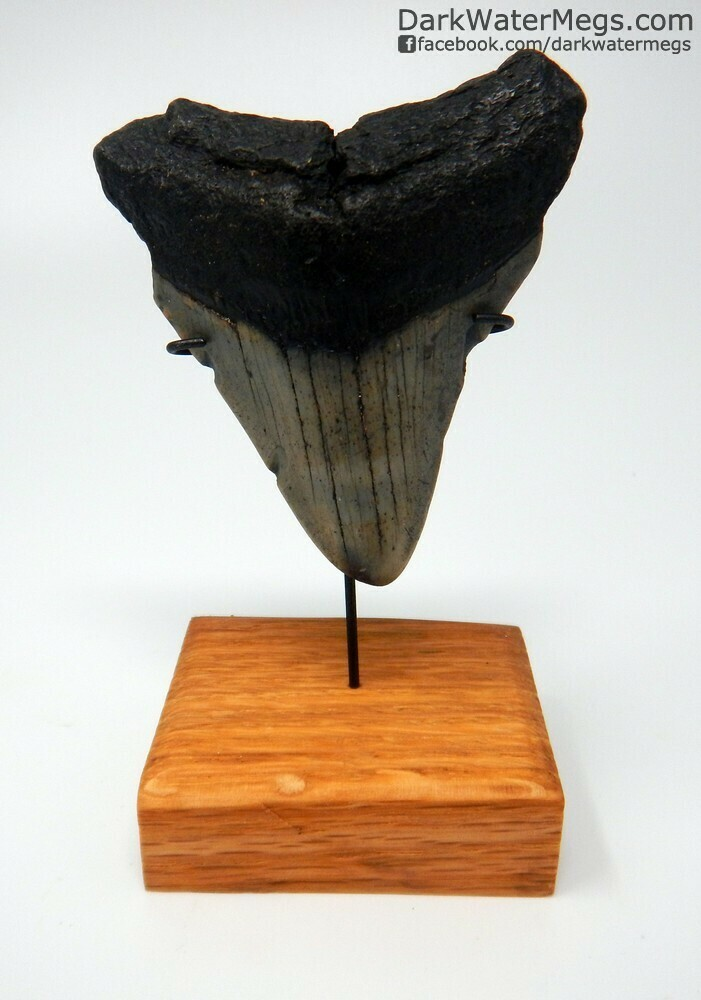 "2.78"" dark colored megalodon tooth on stand"