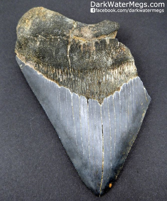 """5.60"""" Cornered Megalodon Tooth"""