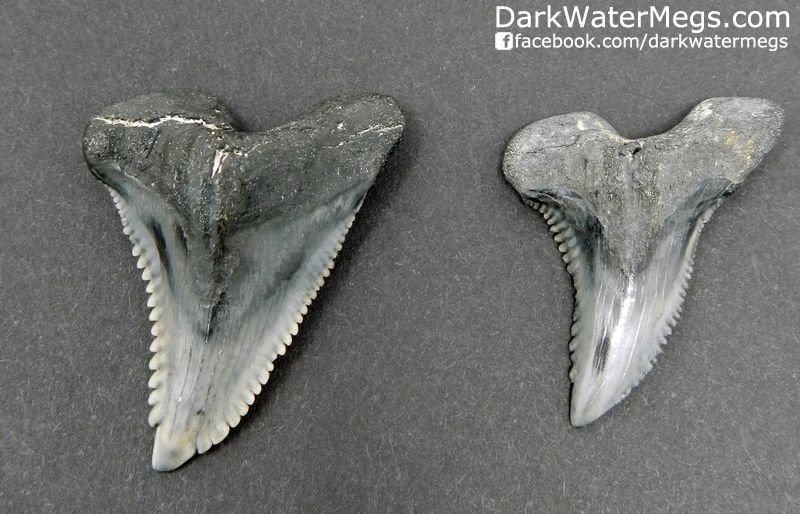 "Two Hemipristis or ""snaggle"" fossil shark teeth 1.57"" and 1.38"""