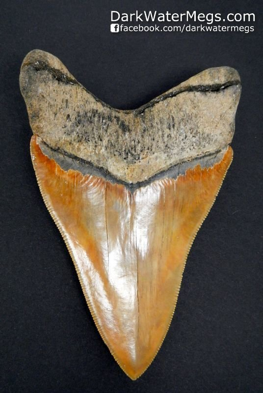 "4.36"" Fire Colored Megalodon Tooth"