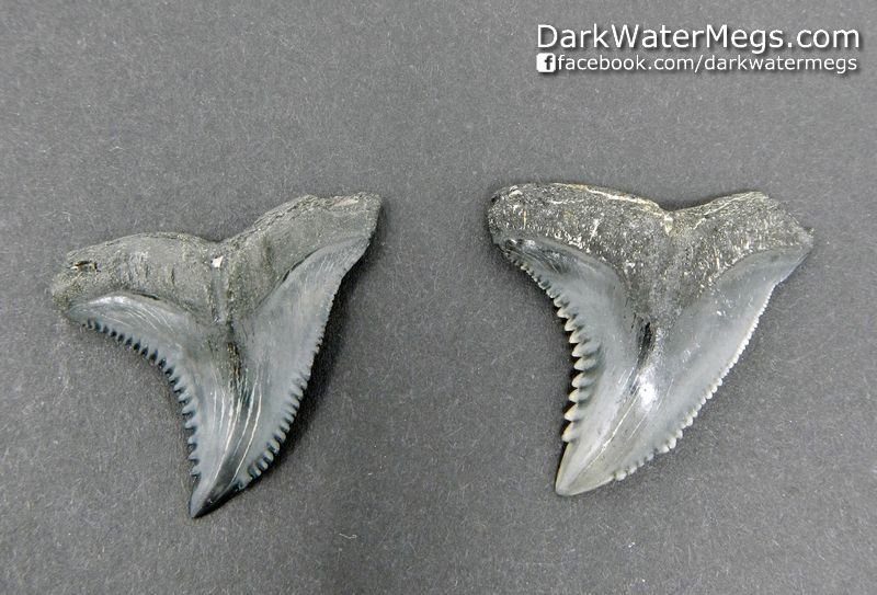 "1.21"" 1.24"" Black Hemipristis or ""snaggle"" fossil shark tooth"