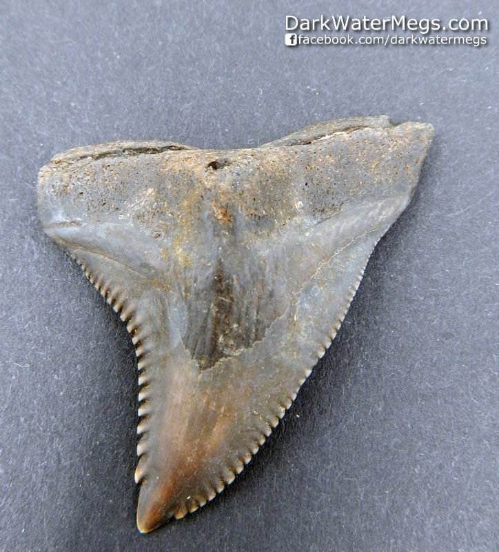 """1.69"""" Large Brown Hemipristis or """"snaggle"""" fossil shark tooth"""