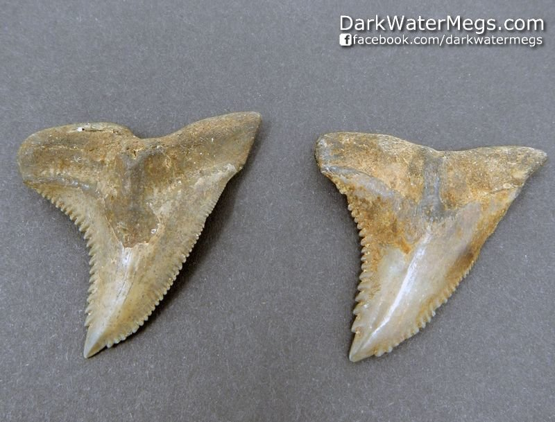 """1.72""""  1.76"""" Two Large Hemipristis or """"snaggle"""" fossil shark tooth"""