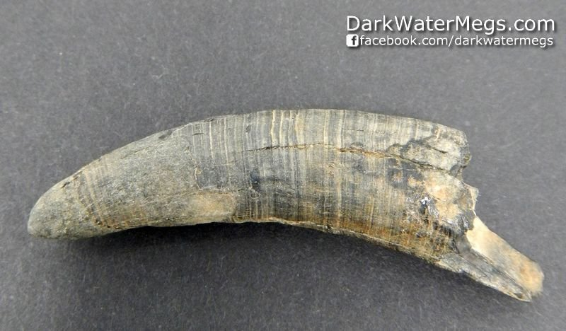 """1.88"""" Ringed Fossil Sperm Whale Tooth"""