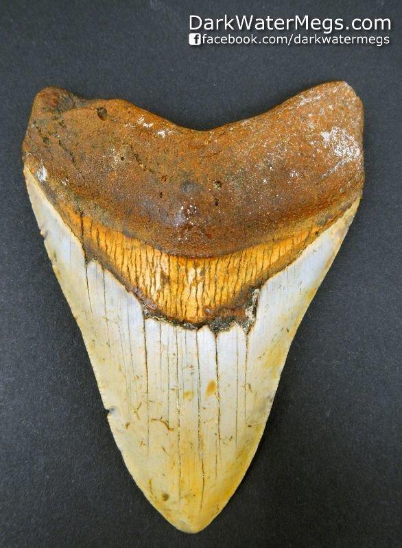 "4.34"" Oragne Megalodon Shark Tooth"
