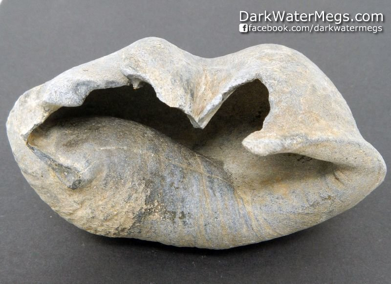 """3.7"""" Excellent Condition Whale Inner Ear Bone Fossil"""