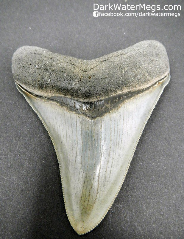 "3.00"" Superb Quality Megaldon Tooth"