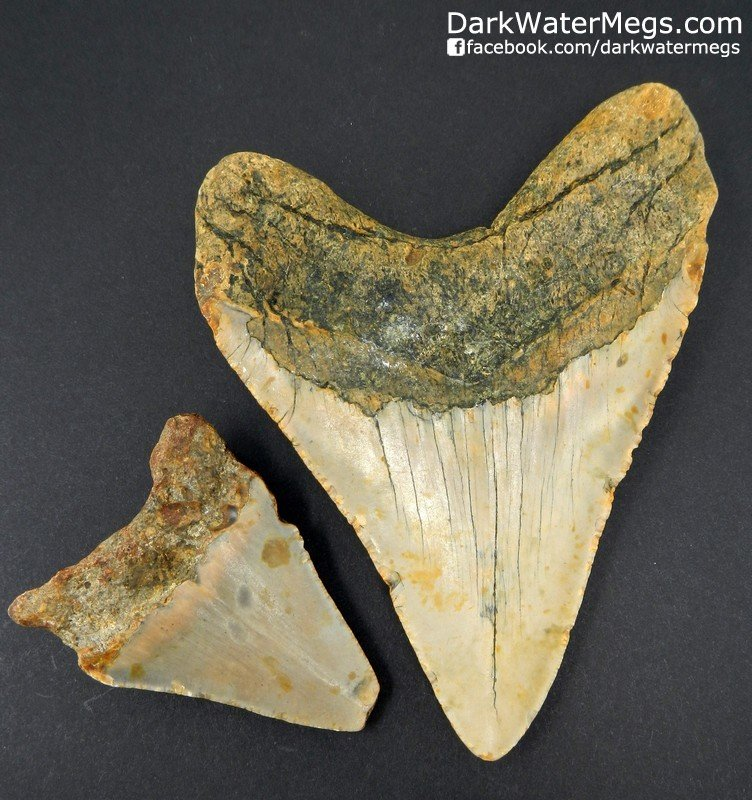 """5.05"""" and 2.81"""" Megalodon Set"""