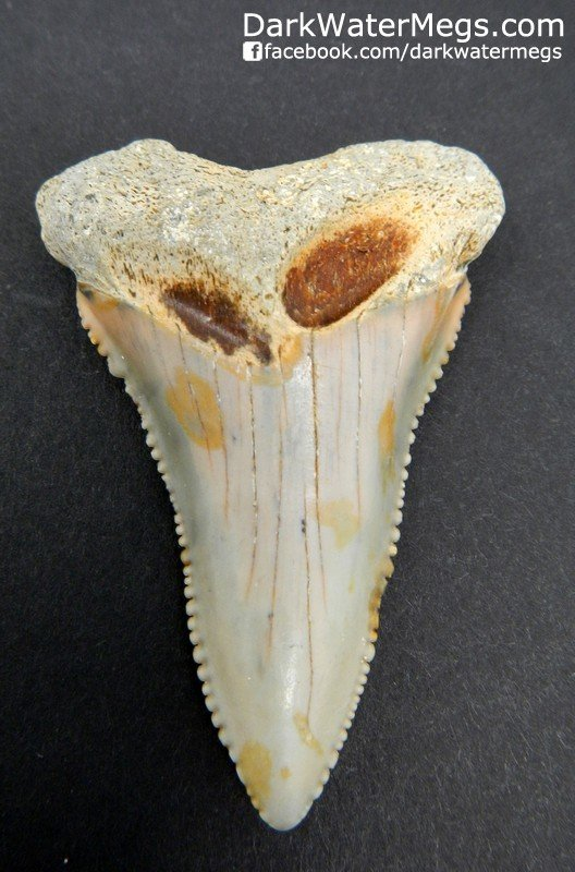 """2.16"""" Great White Lower Tooth"""
