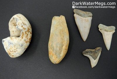 Set of white fossils.  Whale Tooth, Whale Ear, Makos, Hemi