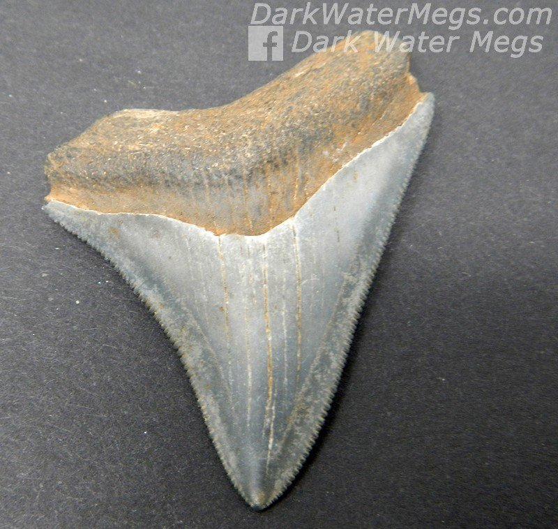 "2.10"" Serrated small megalodon tooth"