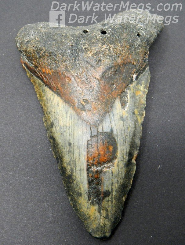 """4.54"""" Multicolored megalodon tooth"""