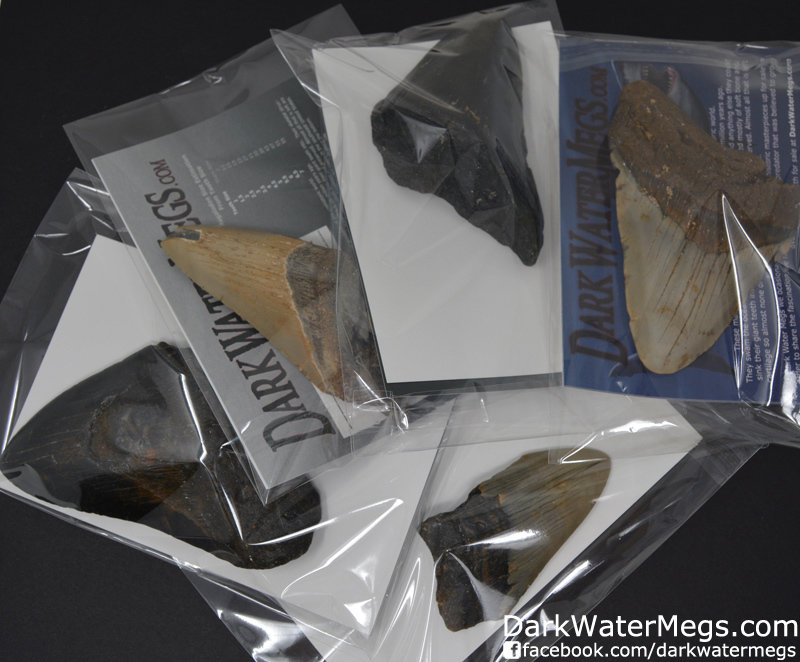 Partial Megalodon Tooth Packs of 5