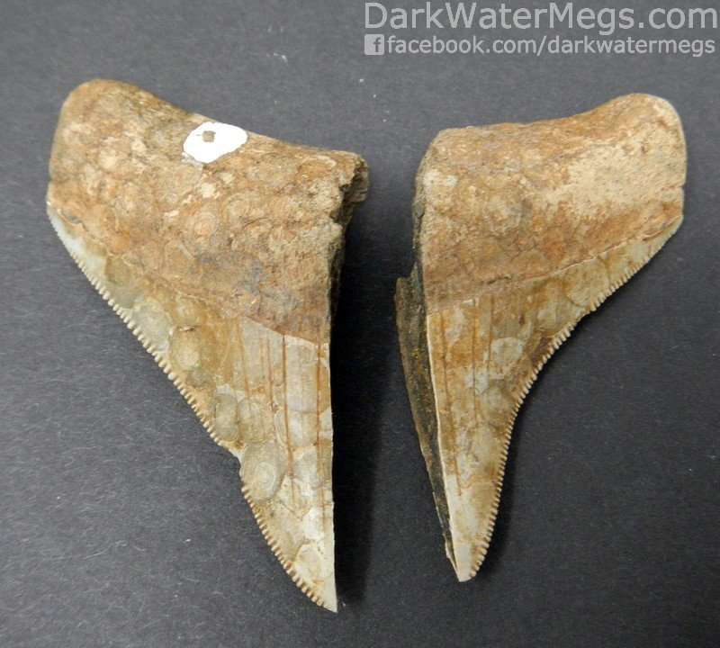 "2.51""* Heartbreak Megalodon Tooth"