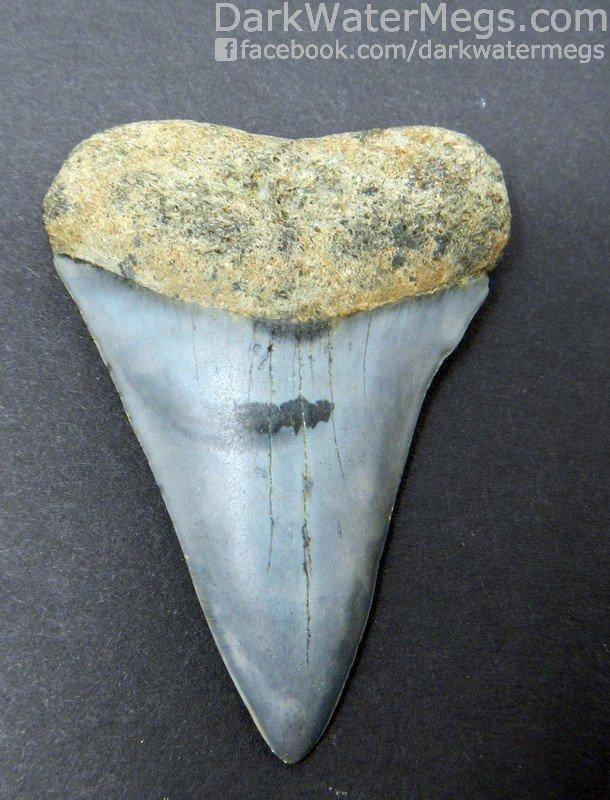 "2.32"" Beautiful Light Blue Mako Tooth"
