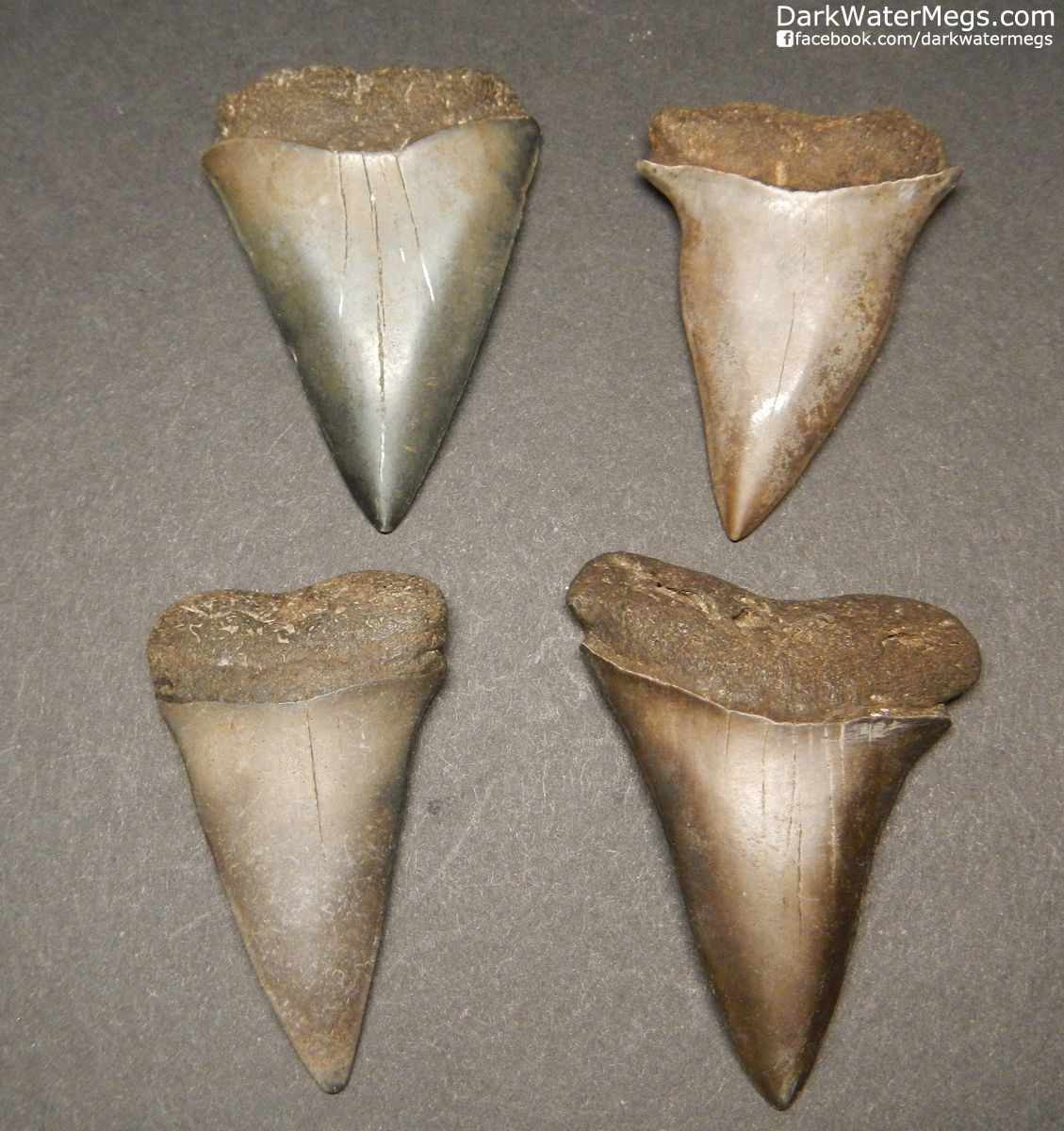 "Four Fossil Mako Shark Teeth 1.93"" 2.00"" 1.86""1.79"""
