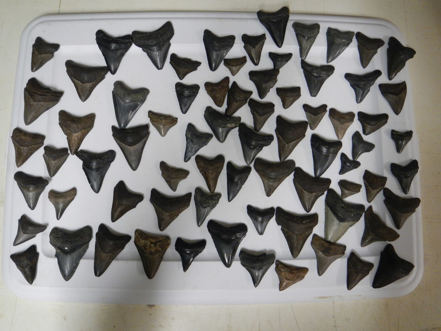 Lot of Small Megalodon Teeth