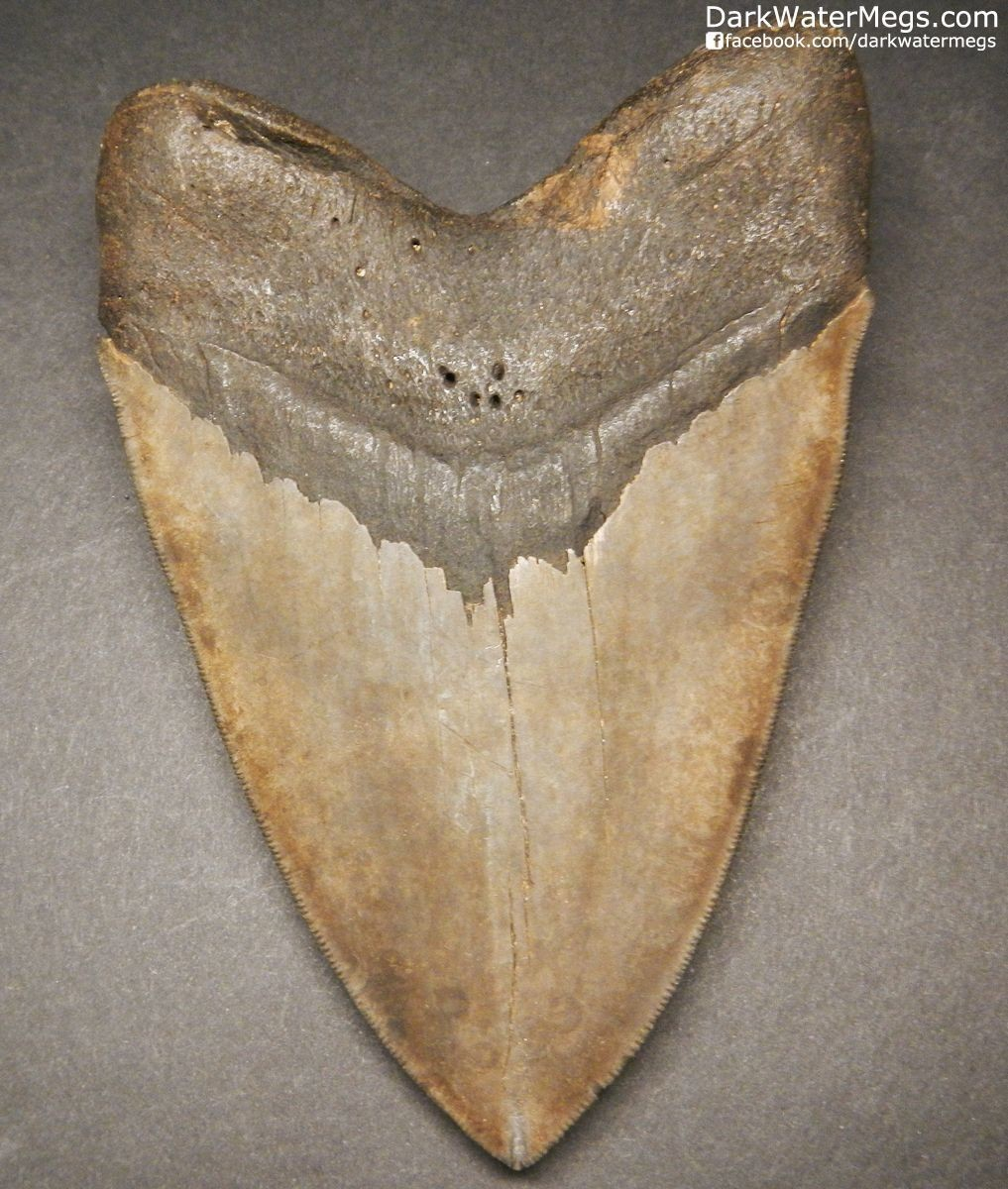 "5.39"" Large brown megalodon shark tooth fossil"