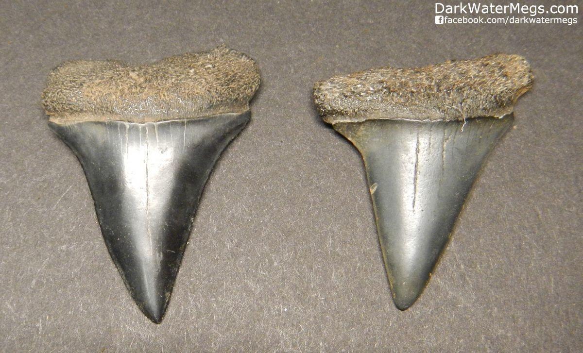 "Two Dark Fossil Mako Shark Teeth 1.44"" and 1.44"""