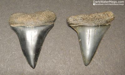 Two Dark Fossil Mako Shark Teeth 1.44