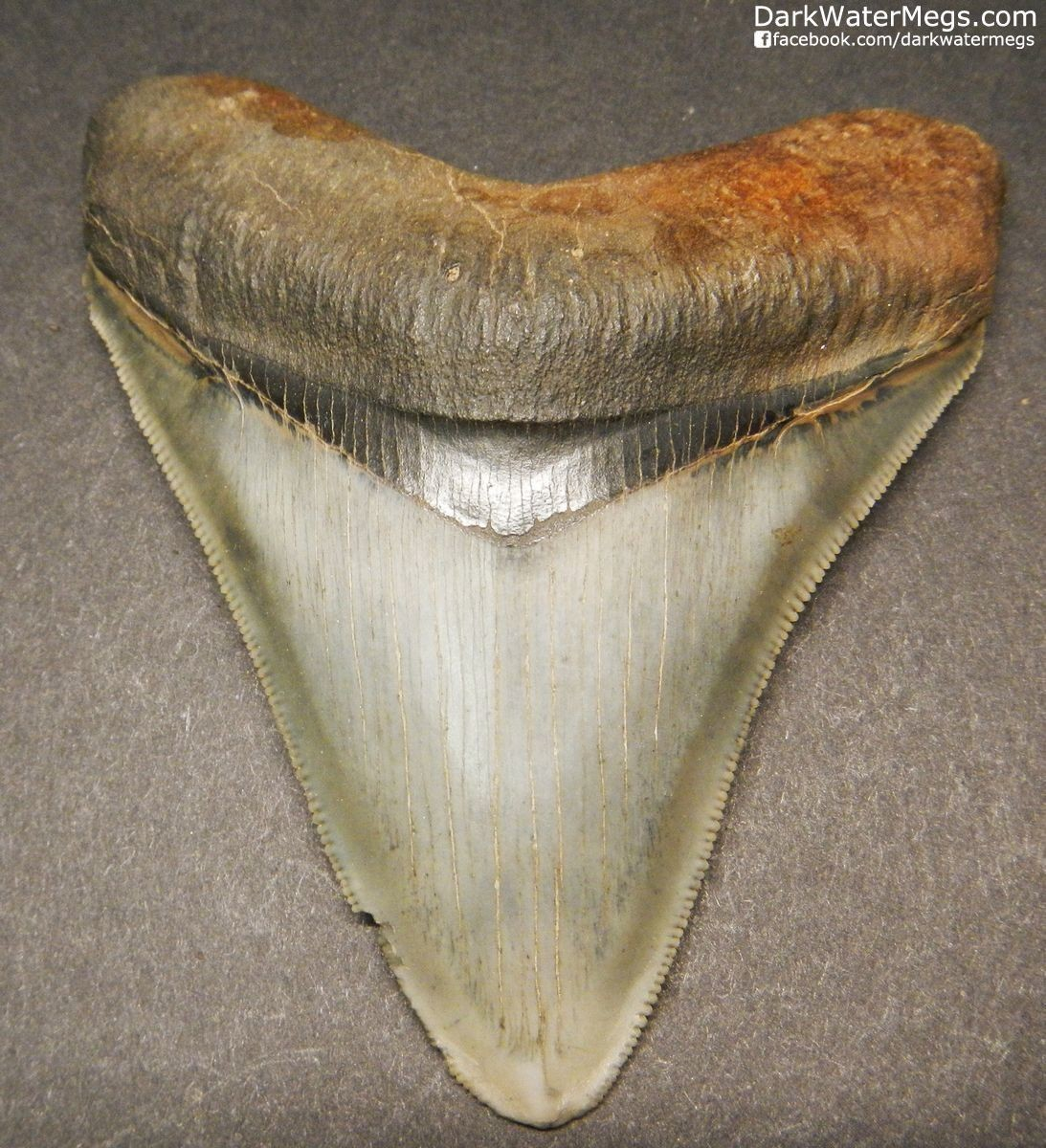 "3.30"" Beautiful Megalodon Tooth"