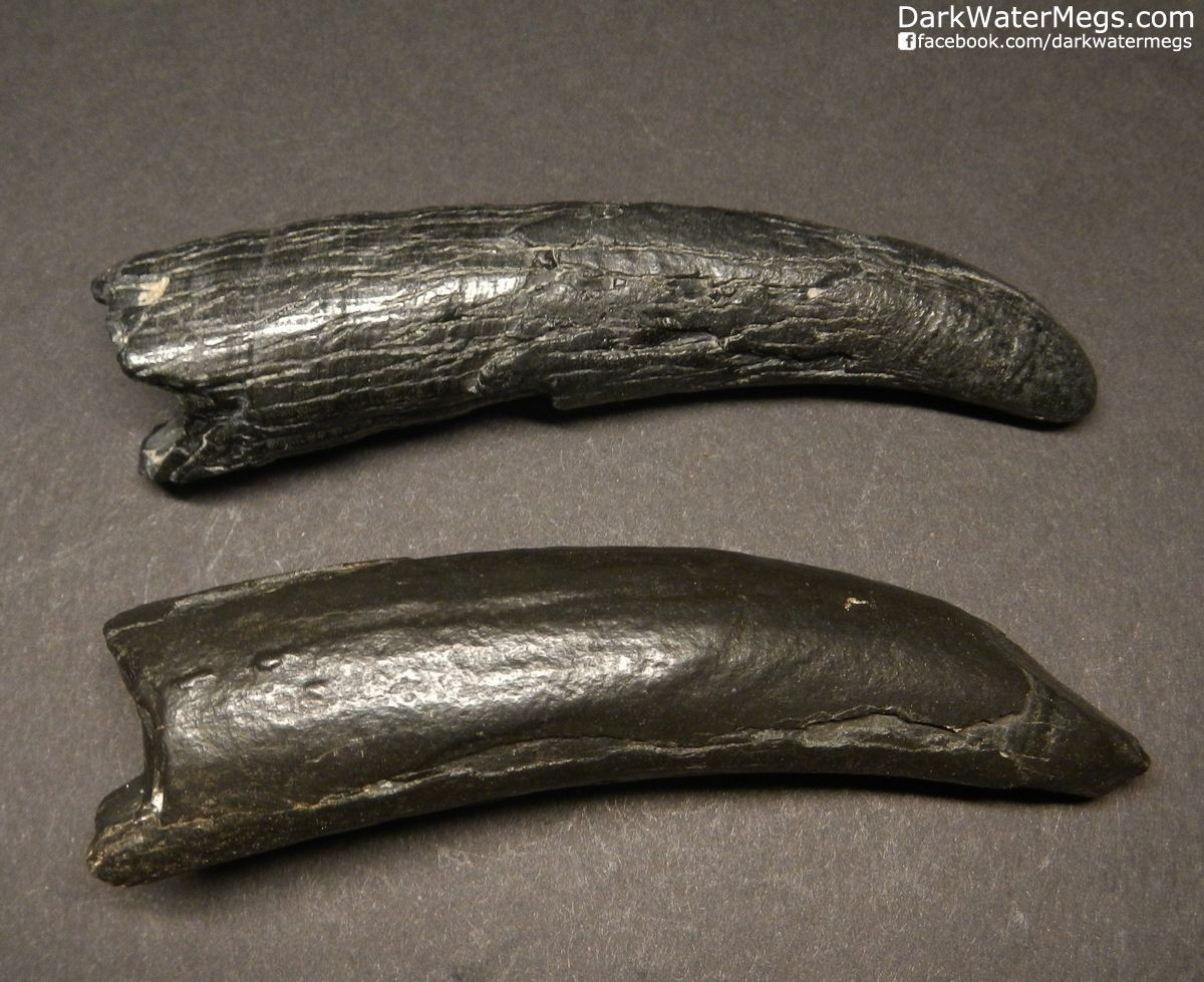 """3.60"""" and 3.66"""" Jet Black Fossil Sperm Whale Tooth Pair"""
