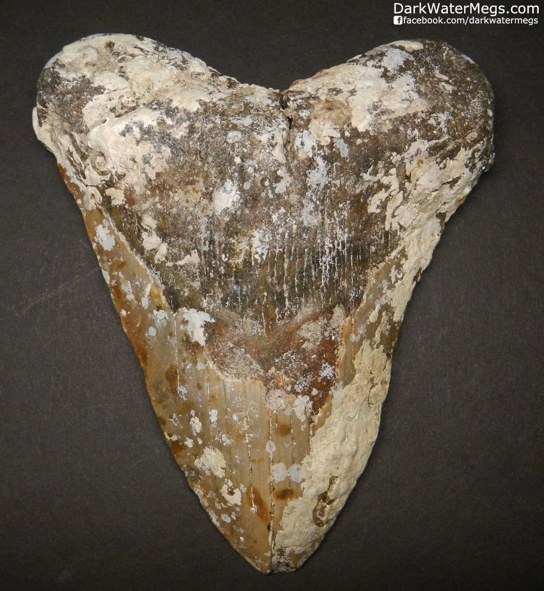 "5.83"" Monster Uncleaned Megalodon Tooth Fossil"