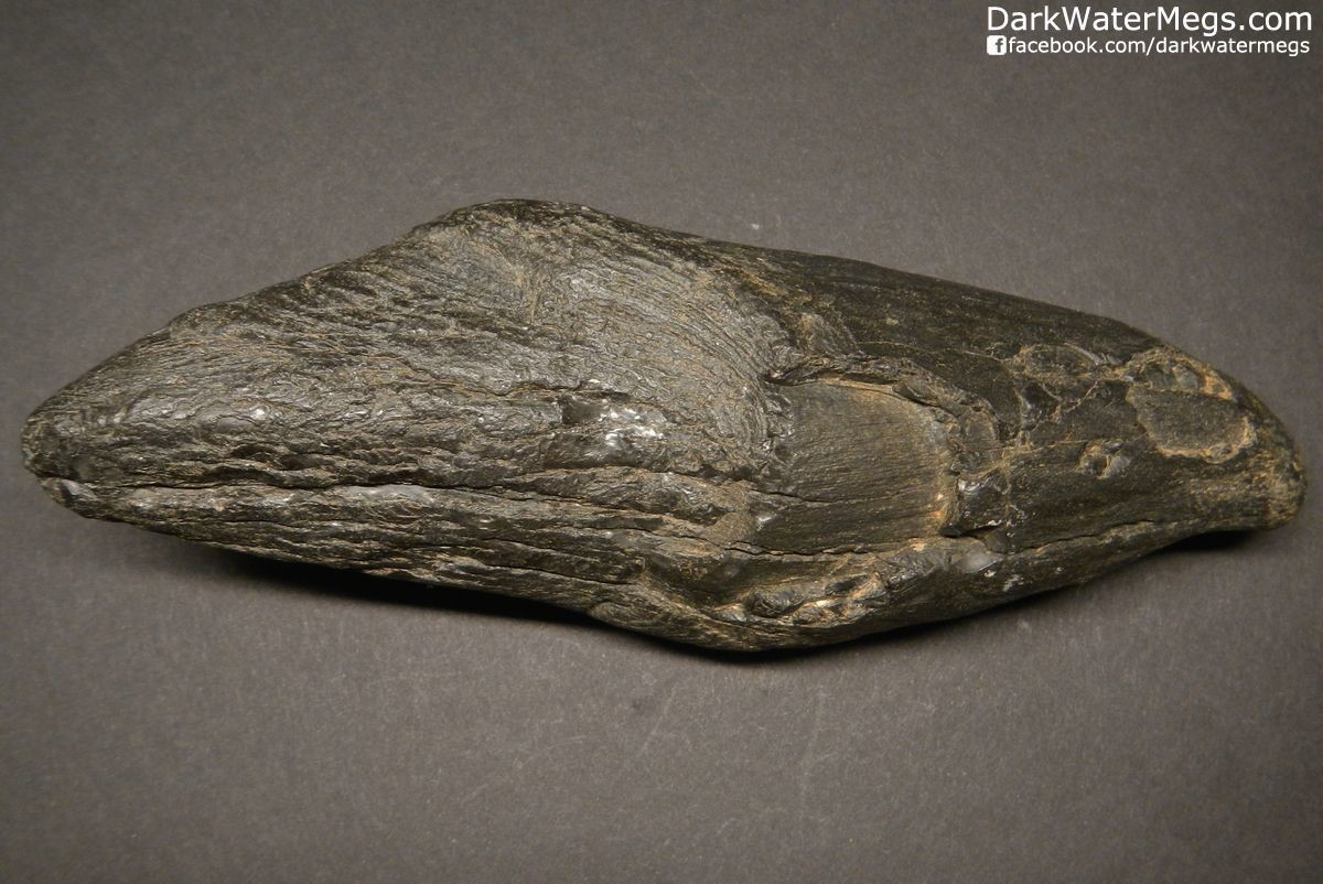 """5.76"""" Fossil Sperm Whale Tooth"""