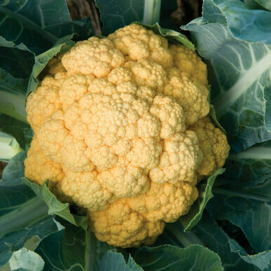 Sharp Cheddar Cauliflower Seeds