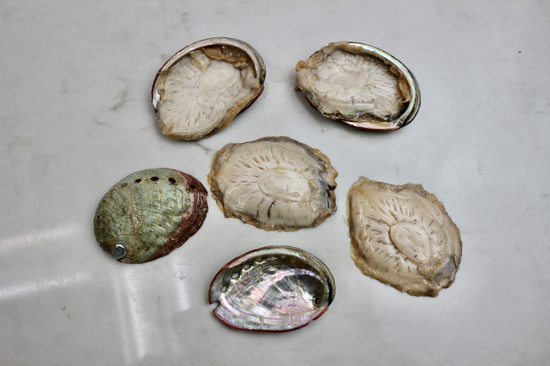 Red Abalone - American Abalone Farm