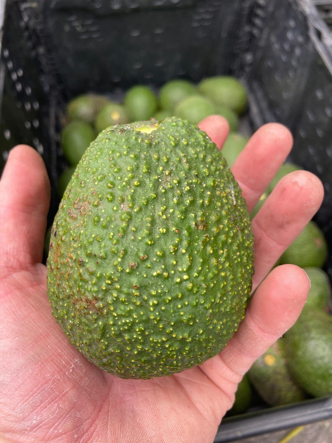 Early Harvest Small Hass Avocado - Monte Verde (1lb)