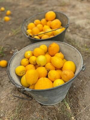 Meyer Lemons (1lb) - Monte Verde Farm