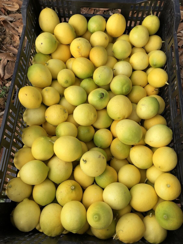Bearss Limes - Monte Verde Farm