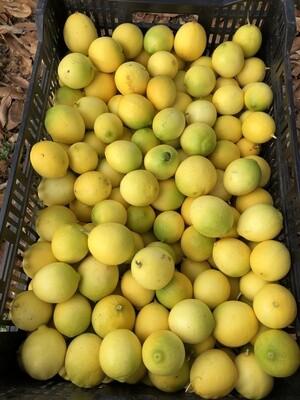 Bearss Limes (1lb) - Monte Verde Farm