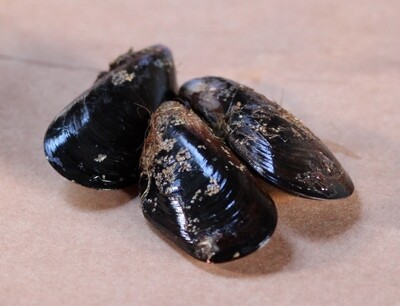 Black Mussels - Starbird Mariculture (2 lbs)
