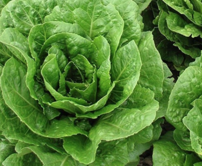 Romaine Lettuce - Groundswell  (1 Head)
