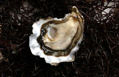 Hatsu Oysters - Starbird Mariculture (12 ct)