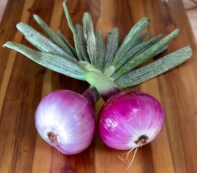 Red Onion - Live Earth Farm (1 ct)