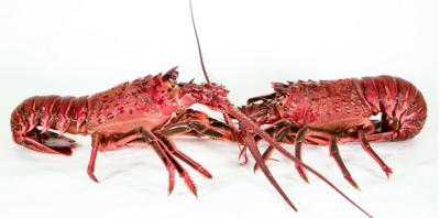 CA Live Spiny Lobsters - FV Mysteri