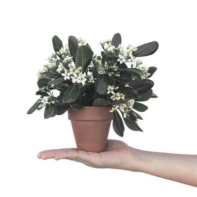 Blomstrende plante