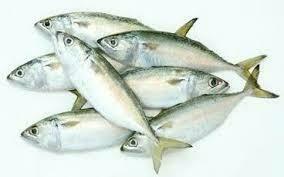 Hasa Hasa Mackerel  Fish