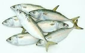 Hasa Hasa Mackerel  Fish