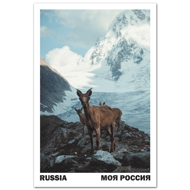 Самка тура, кавказского горного козла, с отпрысками. Безенги, Кабардино-Балкария