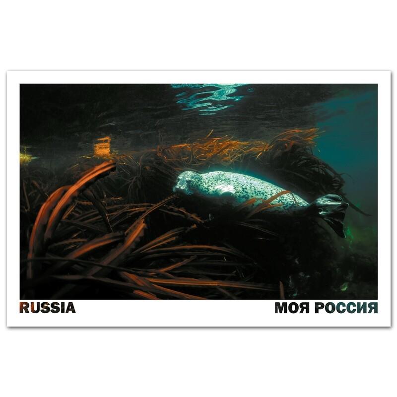 Тюлень ларга. Владивосток, Приморский край