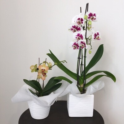 Plants - Orchid ($40 - $60)
