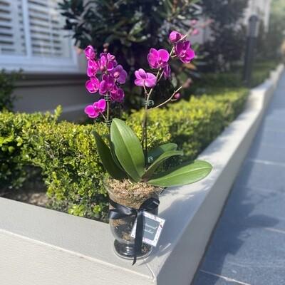 Plants - Orchid ($100)