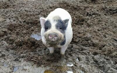 Wilbur- Potbelly Juliana Mixed Mini Pig